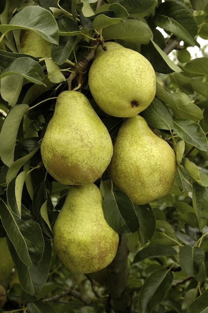 Perenboom (Pyrus communis 'Triomph de Vienne')-Plant in pot-Struik. Kleur: wit