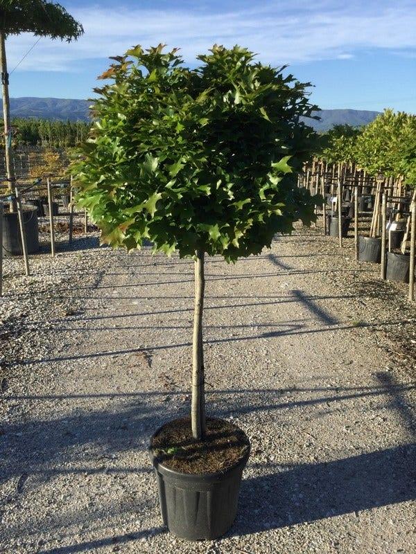 Moeraseik als halfstam (Quercus palustris 'Green Dwarf')