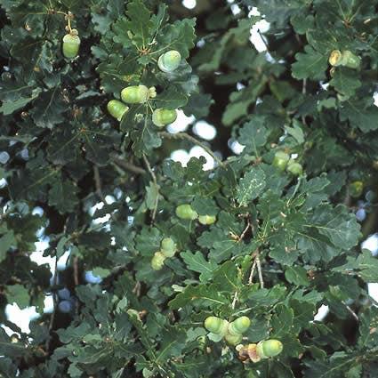 Zomereik (Quercus robur) - 40/60 cm.