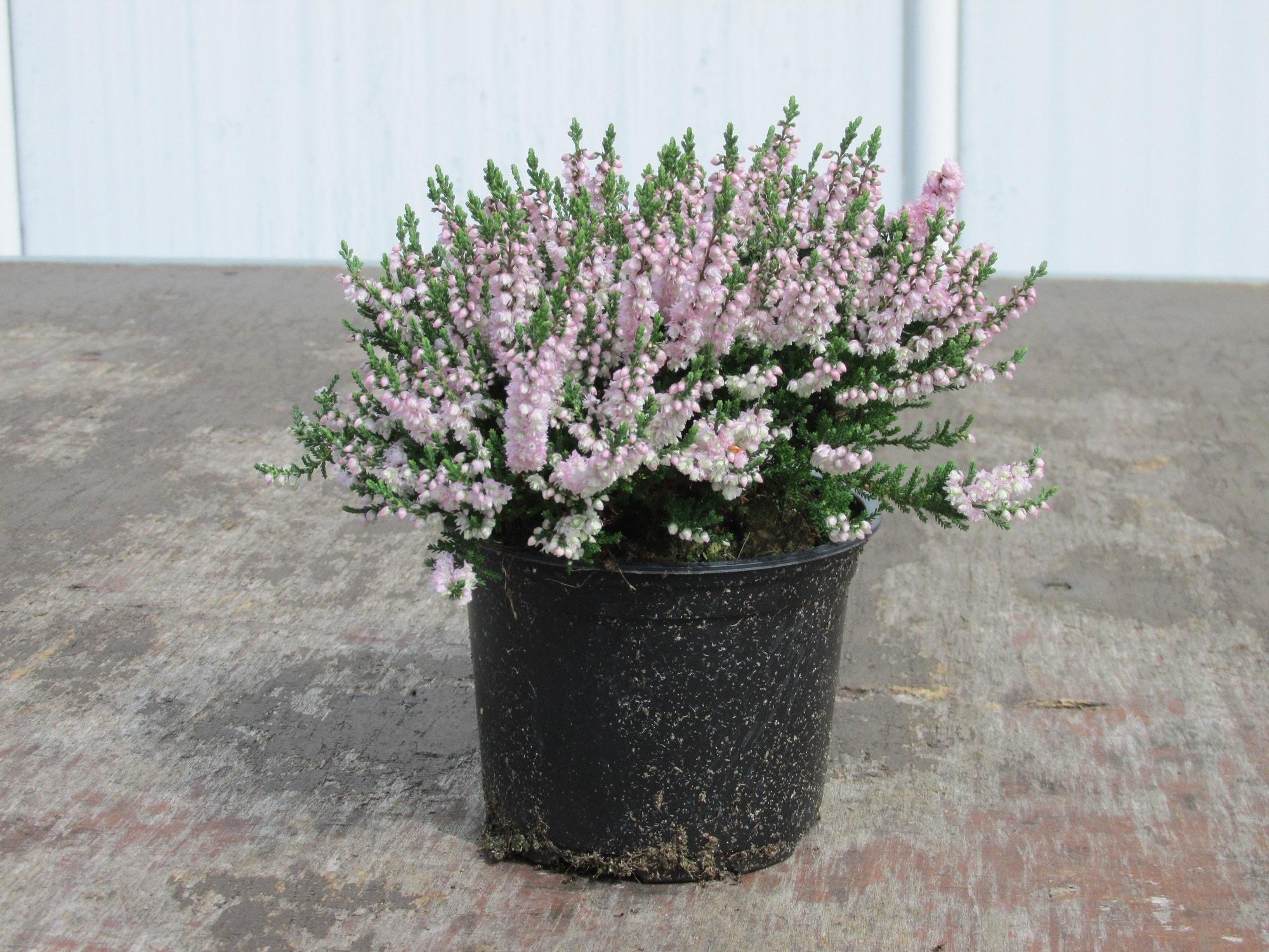 Struikheide (Calluna vulgaris 'Radnor') P12. Kleur: paars