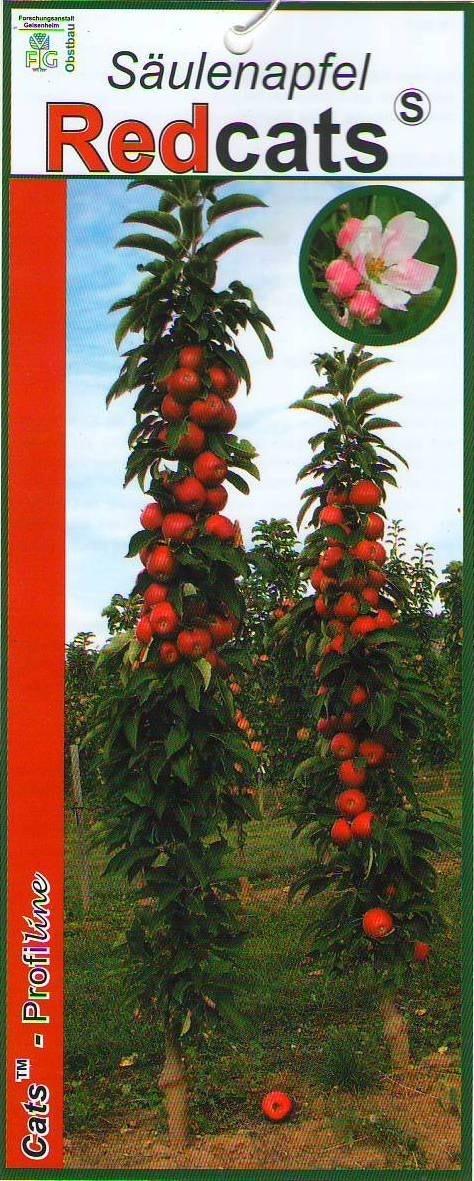 Zuilfruit (Malus domestica 'Redcats')-Plant in pot - 60 cm
