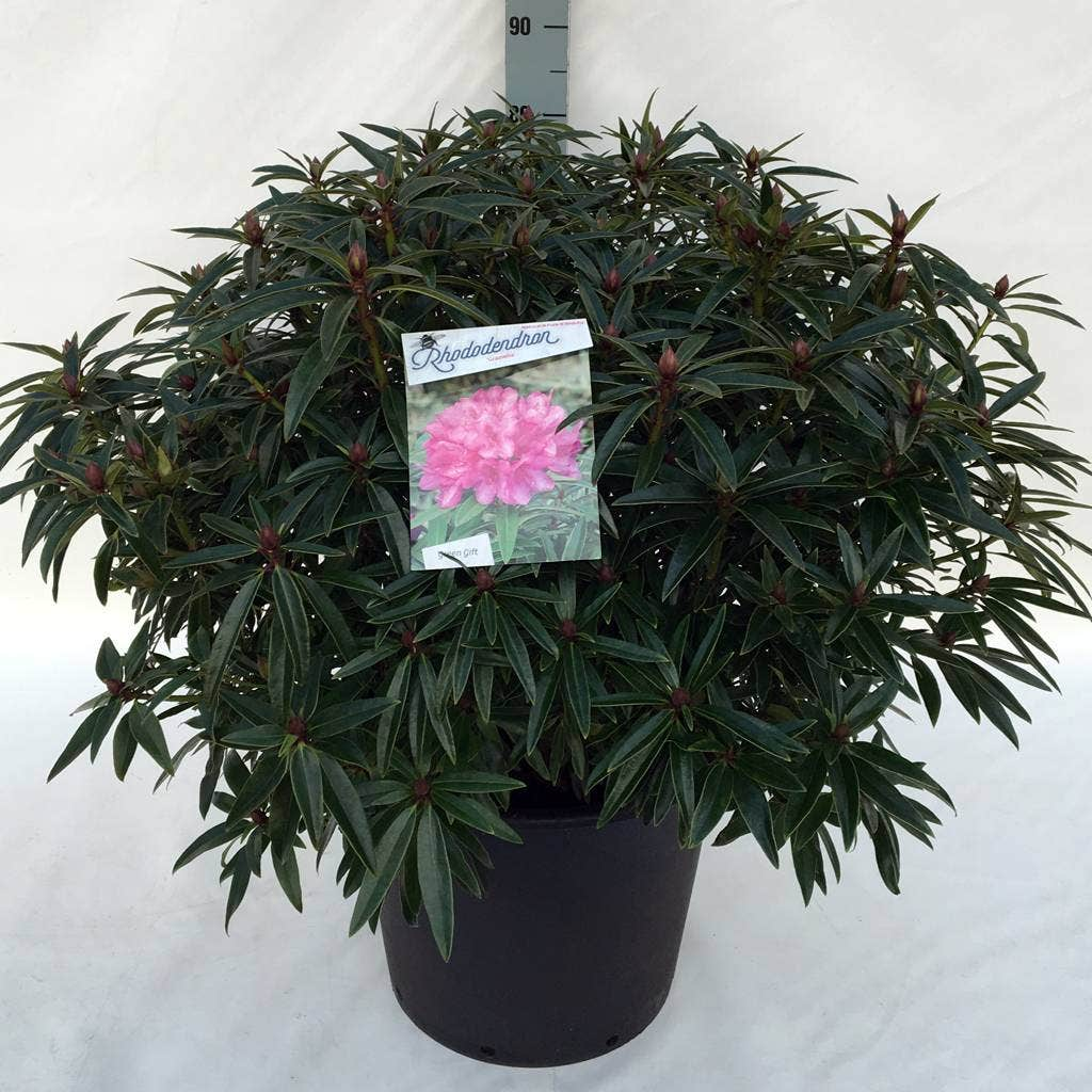 Rhododendron (Rhododendron 'Graziella')-Plant in pot-30/40 cm