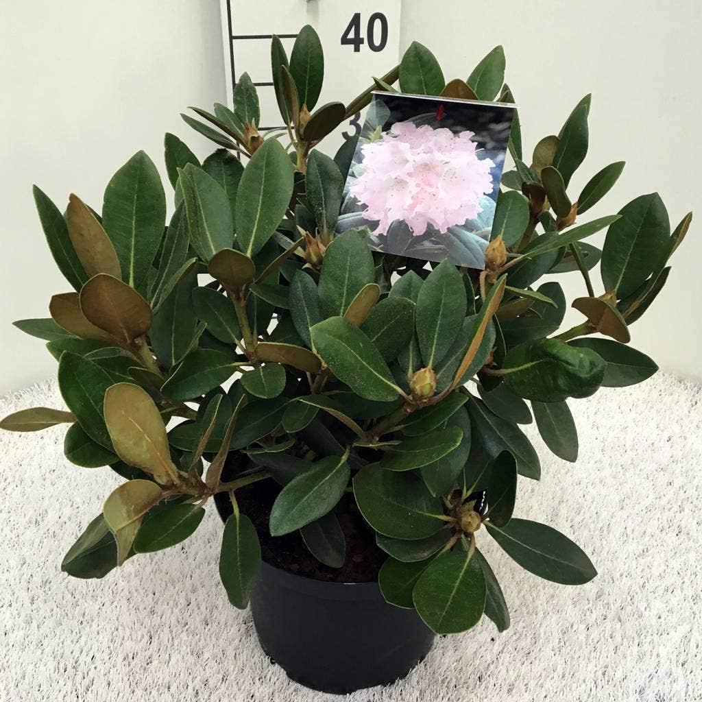 Dwergrhododendron (Rhododendron 'Silberwolke')-Plant in pot-30/40 cm. Kleur: roze