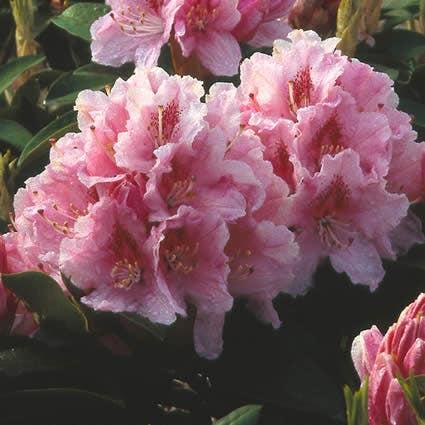 Rhododendron (Rhododendron 'Albert Schweitzer')-Plant in pot-25/30 cm. Kleur: roze