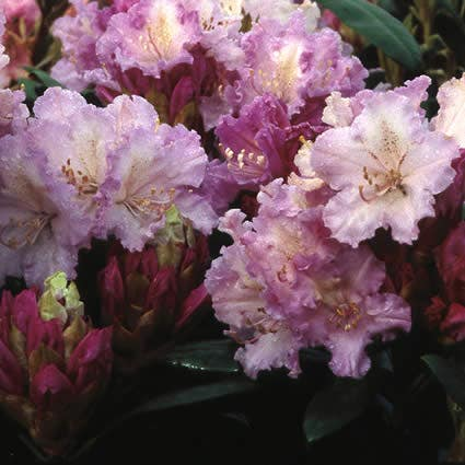 Dwergrhododendron (Rhododendron 'Caroline Allbrook')-Plant in pot-30/40 cm. Kleur: roze