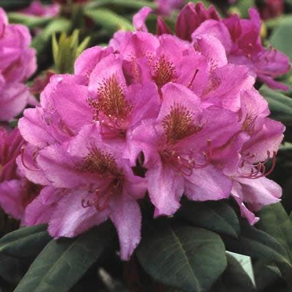 Rhododendron (Rhododendron 'Delta')-Plant in pot-25/30 cm. Kleur: roze