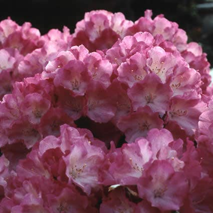 Dwergrhododendron (Rhododendron 'Fantastica')-Plant in pot-80/100 cm. Kleur: rood