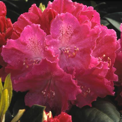 Rhododendron (Rhododendron 'Germania')-Plant in pot-25/30 cm. Kleur: roze
