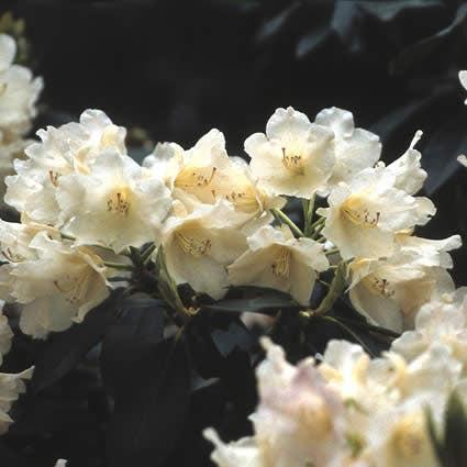 Dwergrhododendron (Rhododendron 'Golden Torch')-Plant in pot-25/30 cm. Kleur: geel
