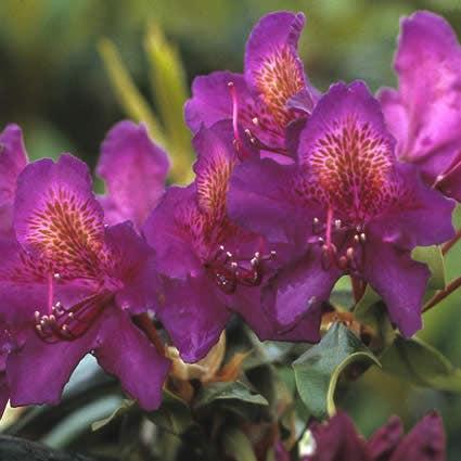 Rhododendron (Rhododendron 'Marcel Menard')-Plant in pot-70/80 cm. Kleur: paars