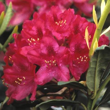 Rhododendron (Rhododendron 'Nova Zembla')-Plant in pot-70/80 cm. Kleur: rood