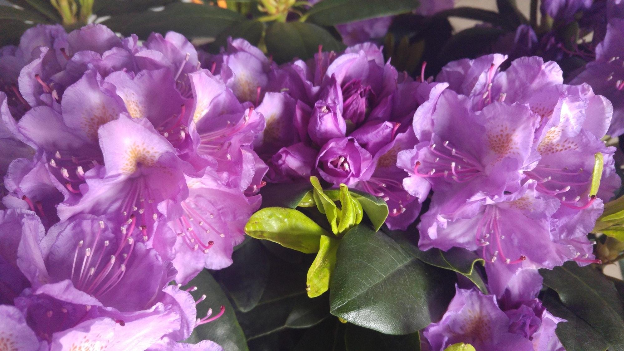 Rhododendron (Rhododendron catawbiense 'Grandiflorum')-Plant in pot-50/60 cm