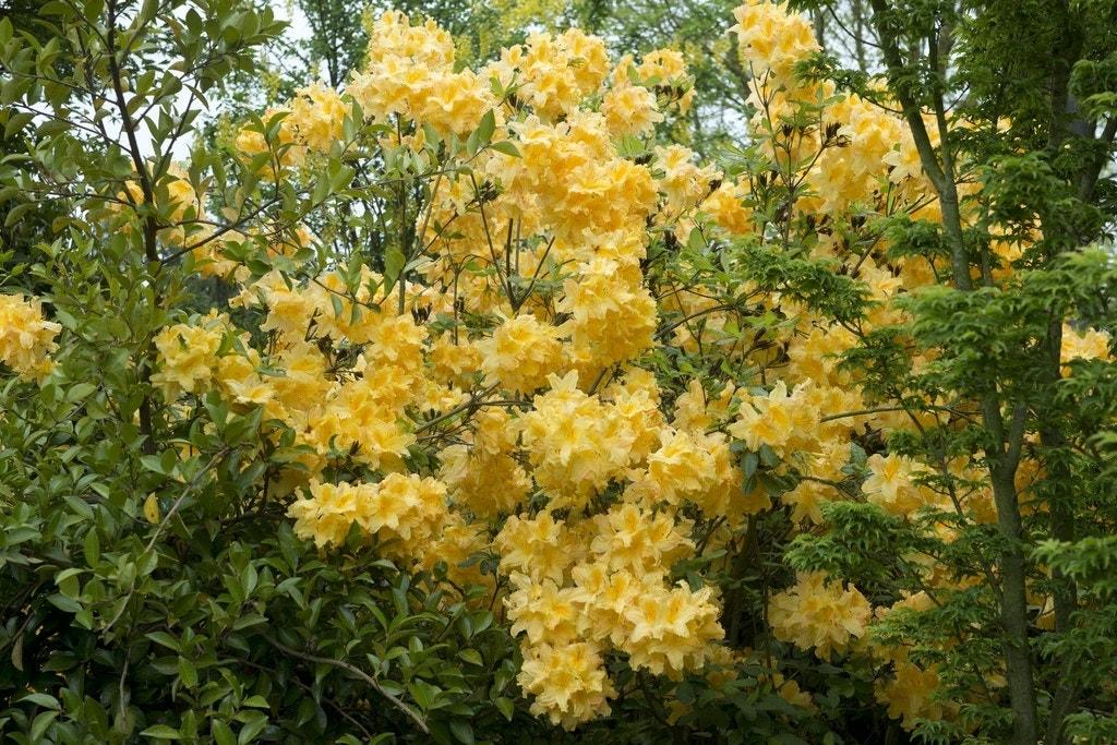 Azalea (Rhododendron 'Mollis' geel)-Plant uit volle grond-40/50 cm. Kleur: geel