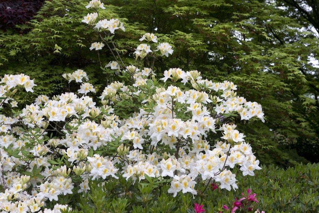 Azalea (Rhododendron 'Mollis' wit)-Plant uit volle grond-40/50 cm. Kleur: wit