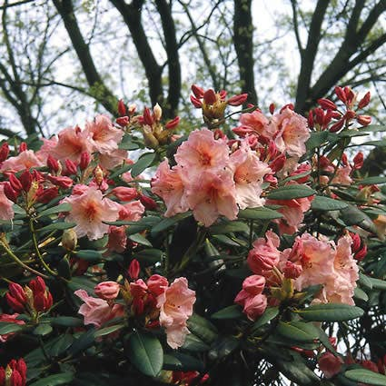 Rhododendron (Rhododendron 'Virginia Richards') - 30/40 cm.