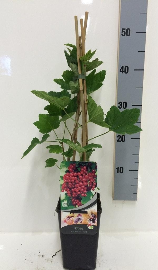 Aalbes (Ribes Rubrum)-Plant in pot-50/60 cm. Kleur: wit