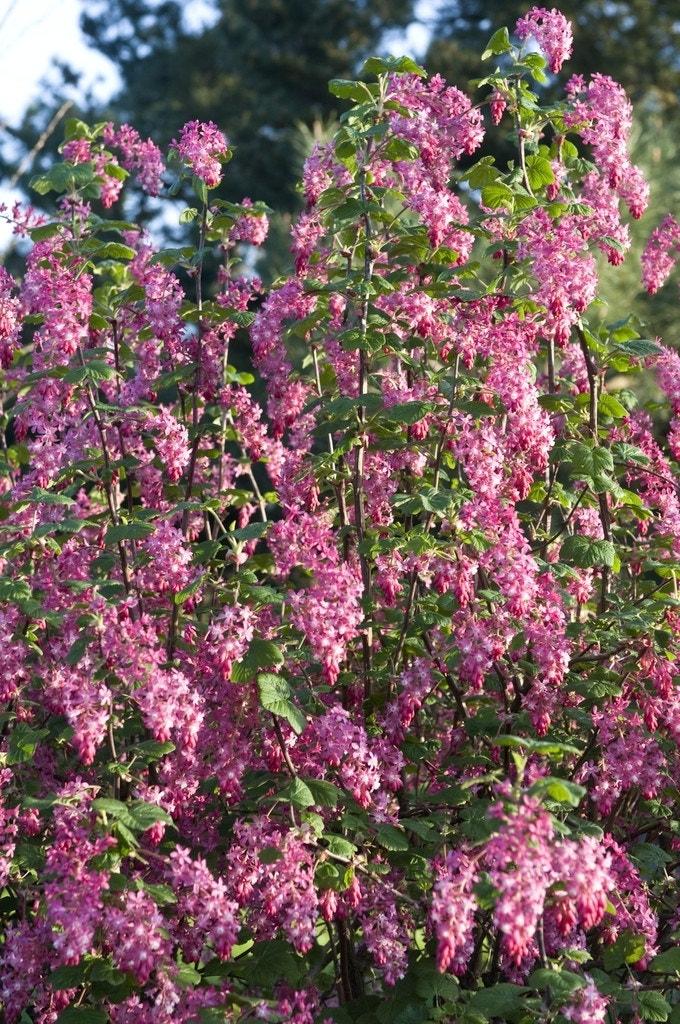 Ribes (Ribes sanguineum)-Plant uit volle grond-40/60 cm. Kleur: roze