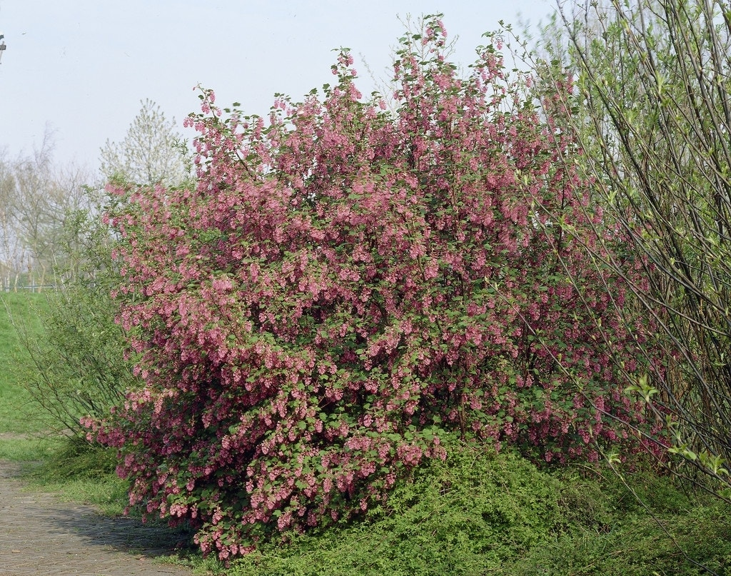 Ribes (Ribes sanguineum 'King Edward VII')-Plant in pot-20/30 cm. Kleur: roze