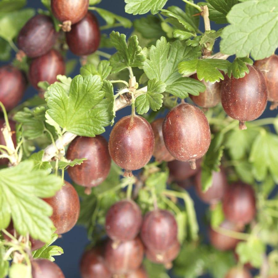Rode Kruisbes struik (Ribes uva-crispa 'Hinnonmaki Röd')