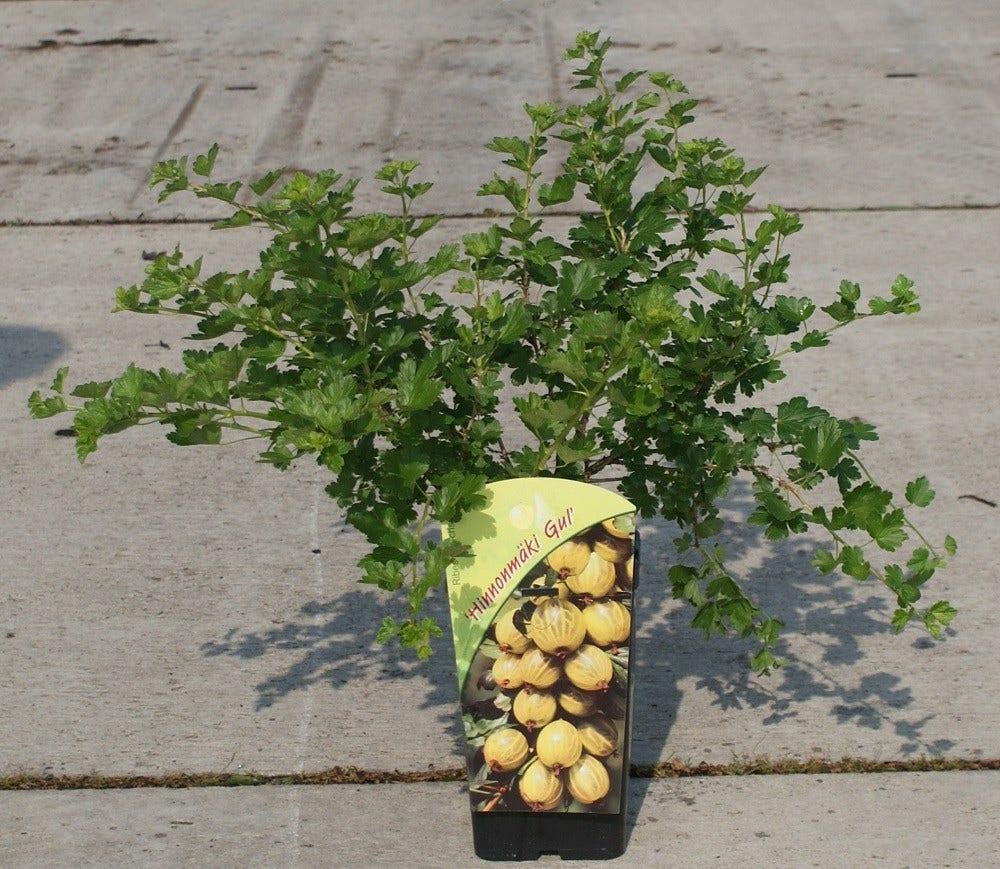 Gele Kruisbes struik (Ribes uva-crispa 'Hinnonmaki Gul') 50/60cm