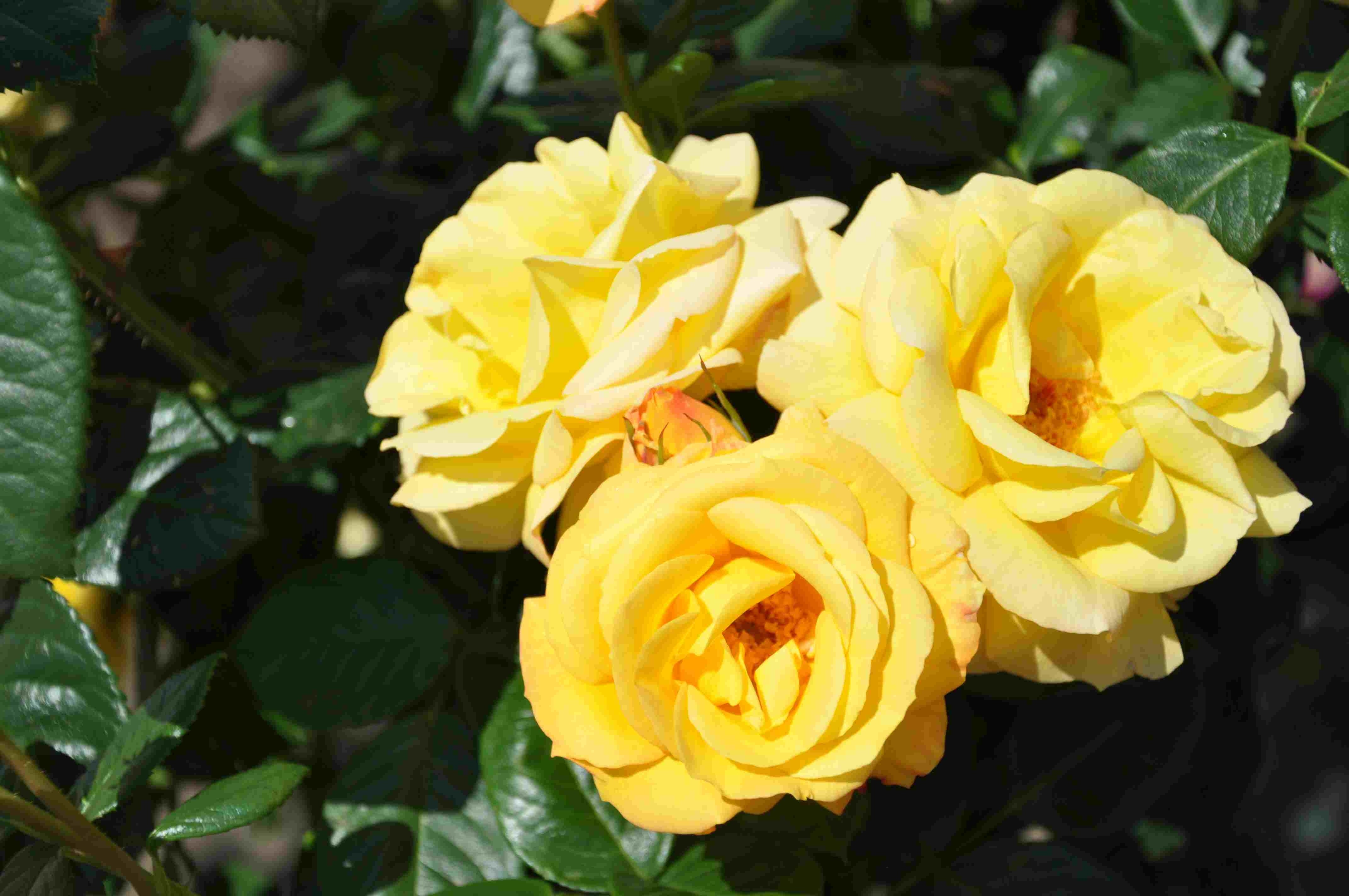 Trosroos (Rosa 'Arthur Bell')-Plant in pot-C3. Kleur: geel