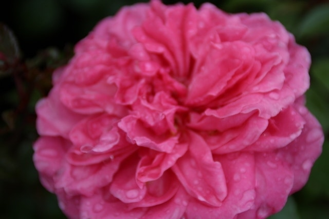Trosroos (Rosa 'Berleburg')-Plant in pot-C5. Kleur: roze