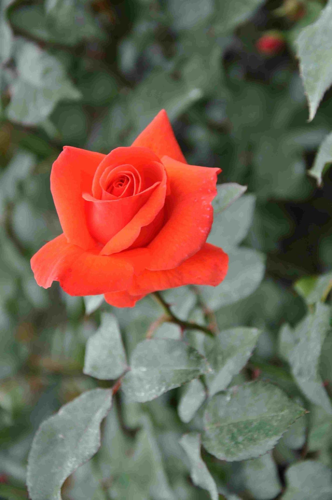 Klimroos (Rosa 'Bionda')-Plant in pot-C3. Kleur: oranje