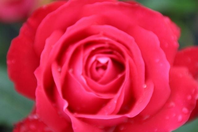 Grootbloemige Roos (Rosa 'Dame de Coeur')-Plant in pot-C3. Kleur: rood