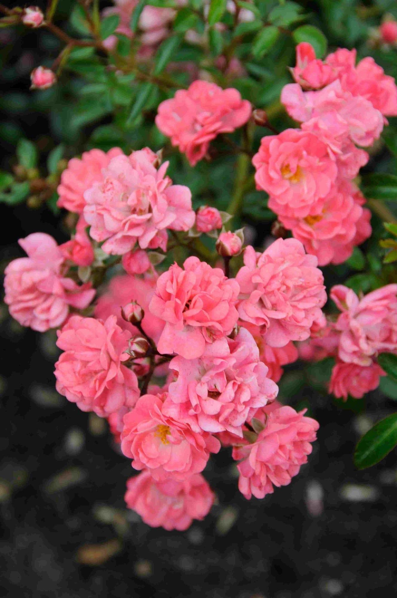 Bodembedekkende roos (Rosa 'Fairy Princess')-Plant in pot-C3. Kleur: roze