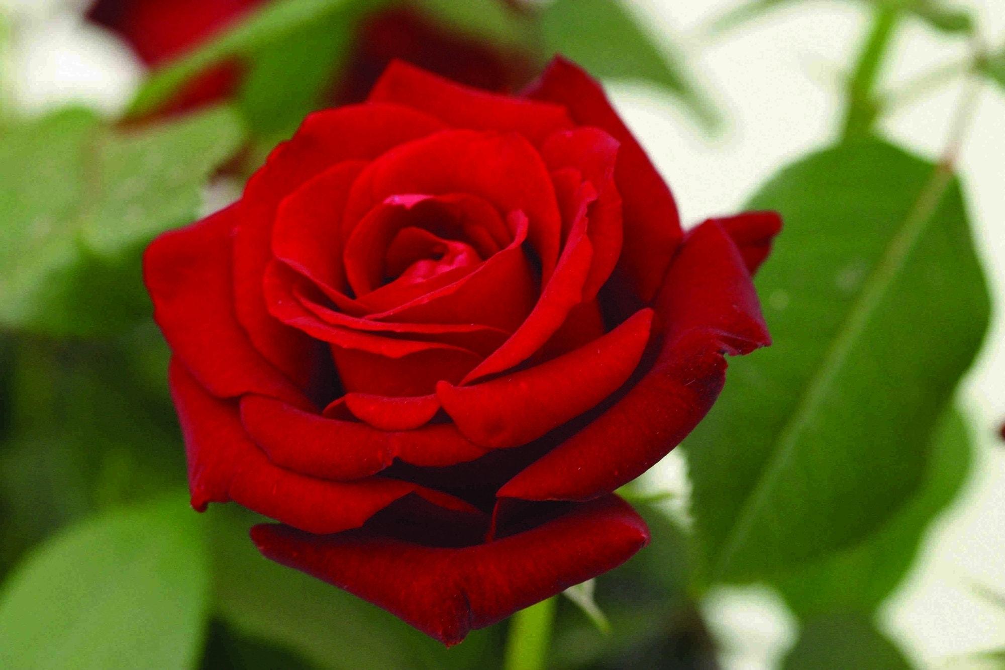 Grootbloemige Roos (Rosa 'Ingrid Bergman')-Plant in pot-C5. Kleur: rood
