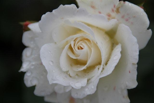 Trosroos (Rosa 'Kristallperle')-Plant in pot-C3. Kleur: wit