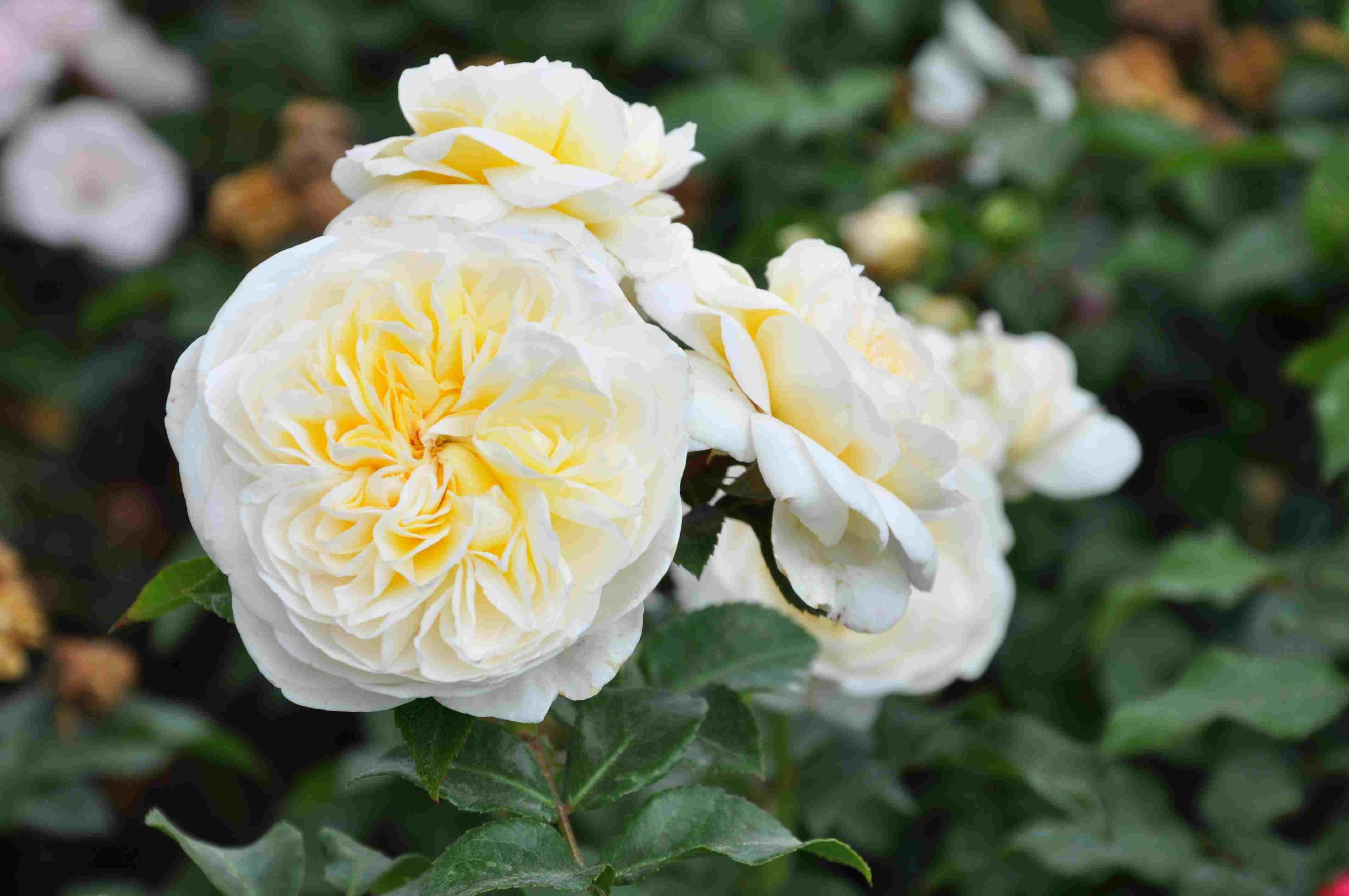 Trosroos (Rosa 'Lady Romantica')-Plant in pot-C3