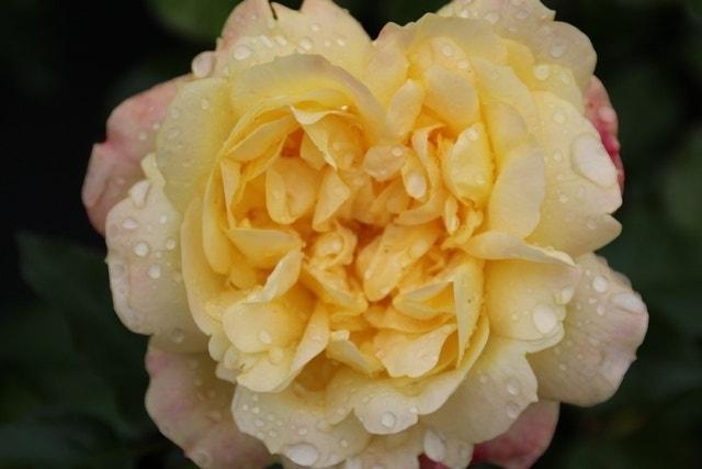 Trosroos (Rosa 'Lampion')-Plant in pot-C3
