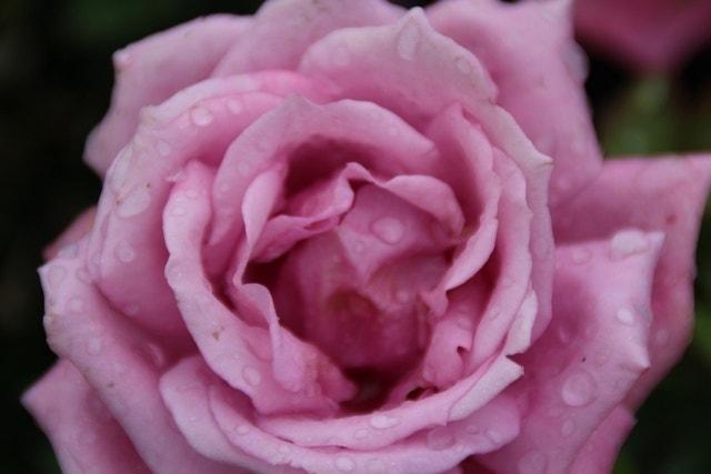 Grootbloemige Roos (Rosa 'Lila Wunder')-Plant in pot-C3. Kleur: paars