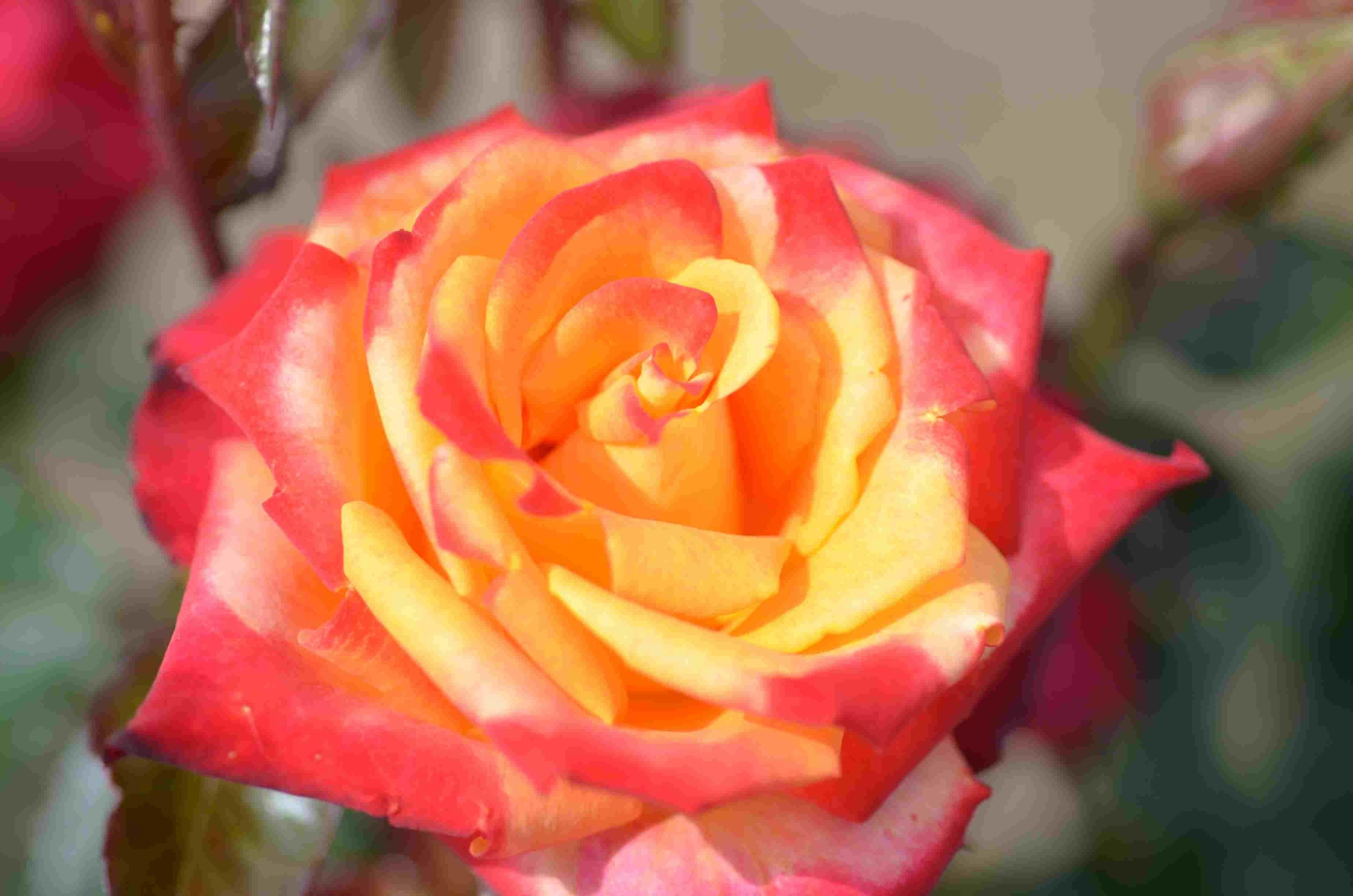Grootbloemige roos (Rosa 'Mein Munchen')-Plant in pot-C3. Kleur: meerkleurig