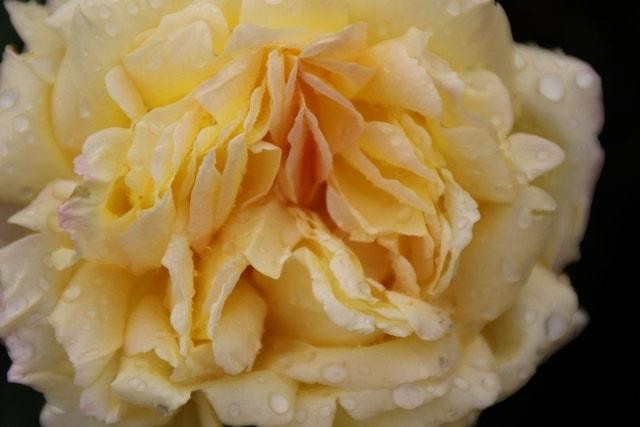 Grootbloemige Roos (Rosa 'Peace' (Gloria Dei)