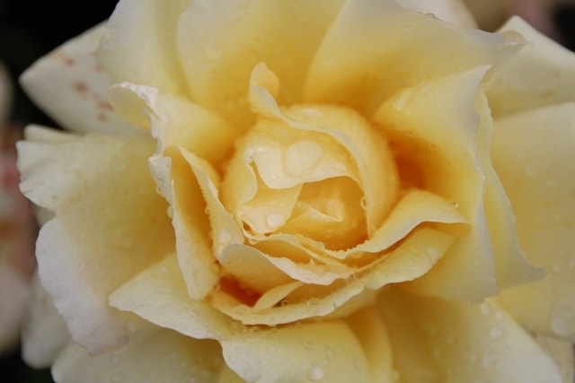Grootbloemige Roos (Rosa 'Winter Sun')-C5. Kleur: geel