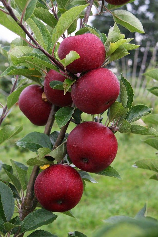 Appelboom (Malus domestica 'Rosette')-Plant in pot-hoogstam