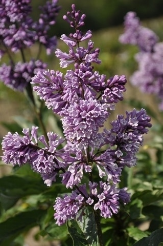 Sering (Syringa villosae 'Royalty')-Plant uit volle grond-100/125 cm. Kleur: paars