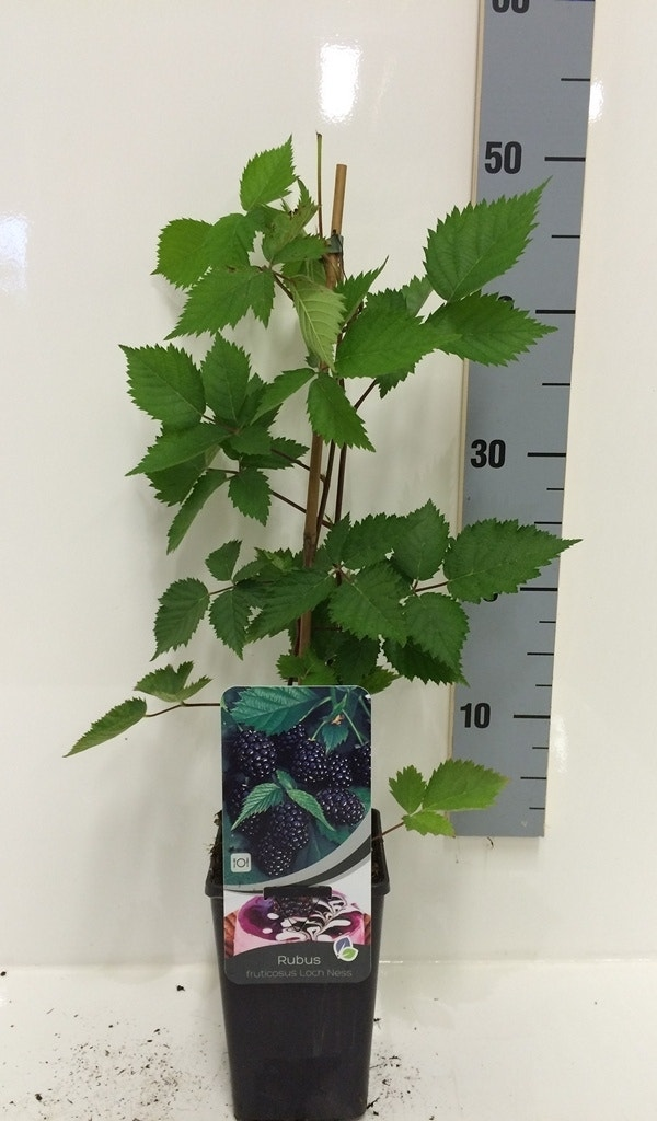 Braam (Rubus fruticosa 'Loch Ness')-Plant in pot-50/60 cm. Kleur: wit