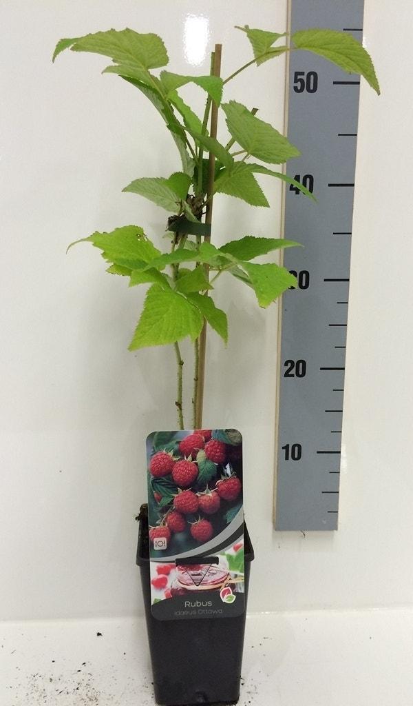 Framboos (Rubus Idaeus 'Ottawa') -Plant in pot-50/60 cm. Kleur: wit