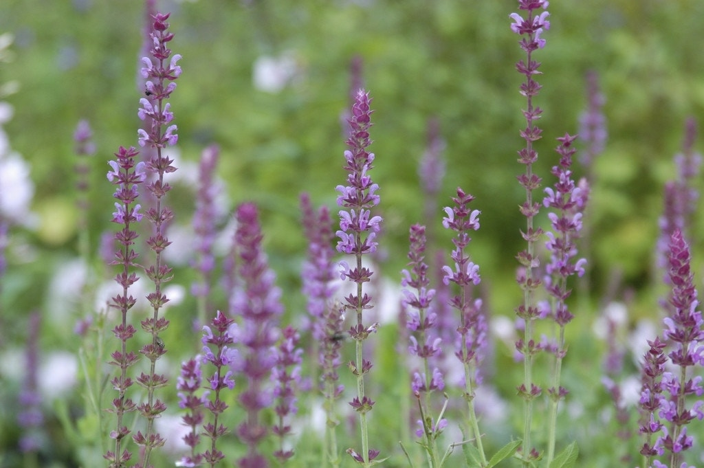 Salie (Salvia nemorosa 'Amethyst')-Plant in pot-C2. Kleur: roze