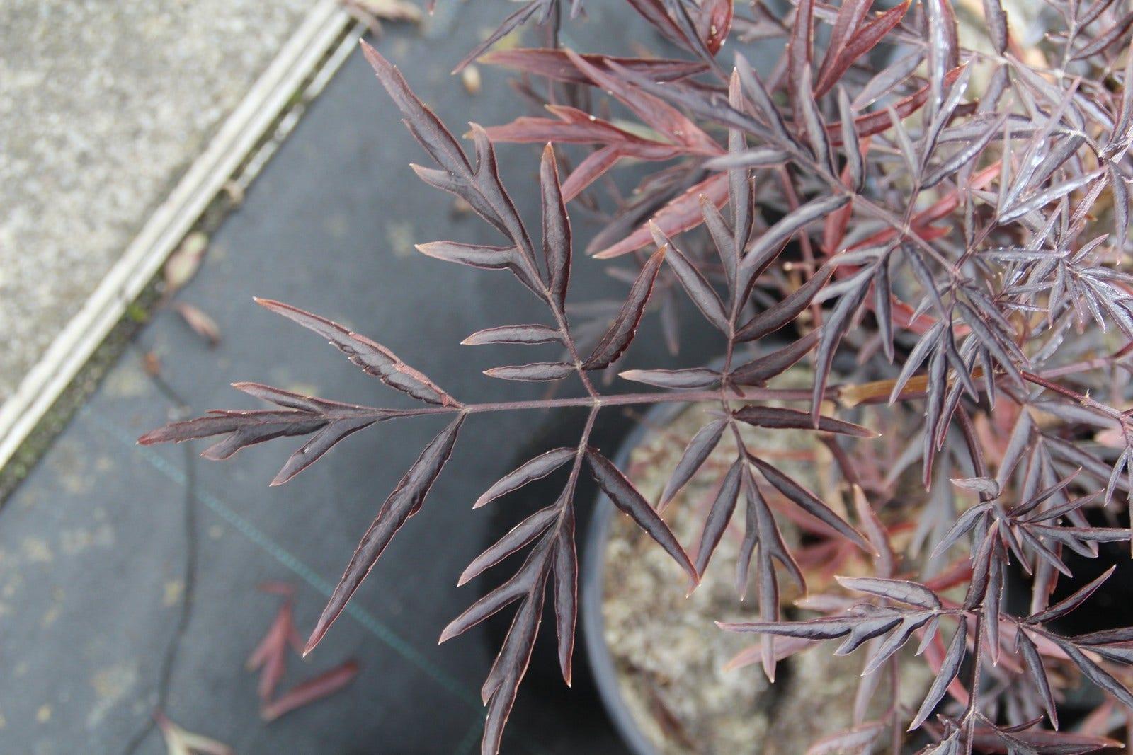 Zwarte vlier (Sambucus nigra 'Black Lace')-Plant in pot-60/80 cm. Kleur: roze