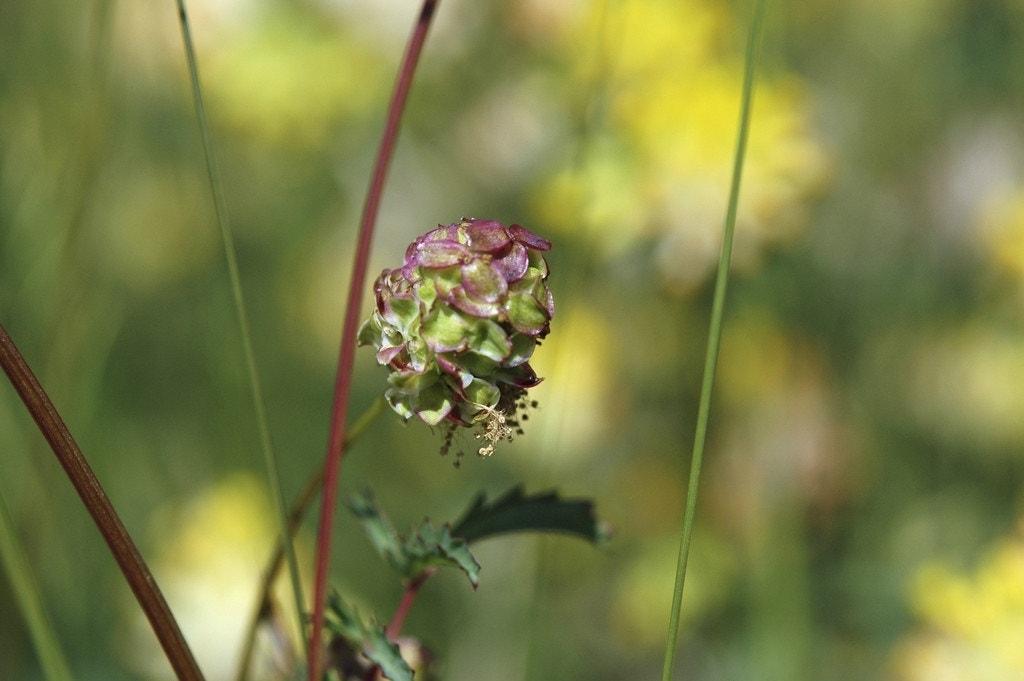 Kleine pimpernel (Sanguisorba minor)-Plant in pot-C2. Kleur: groen
