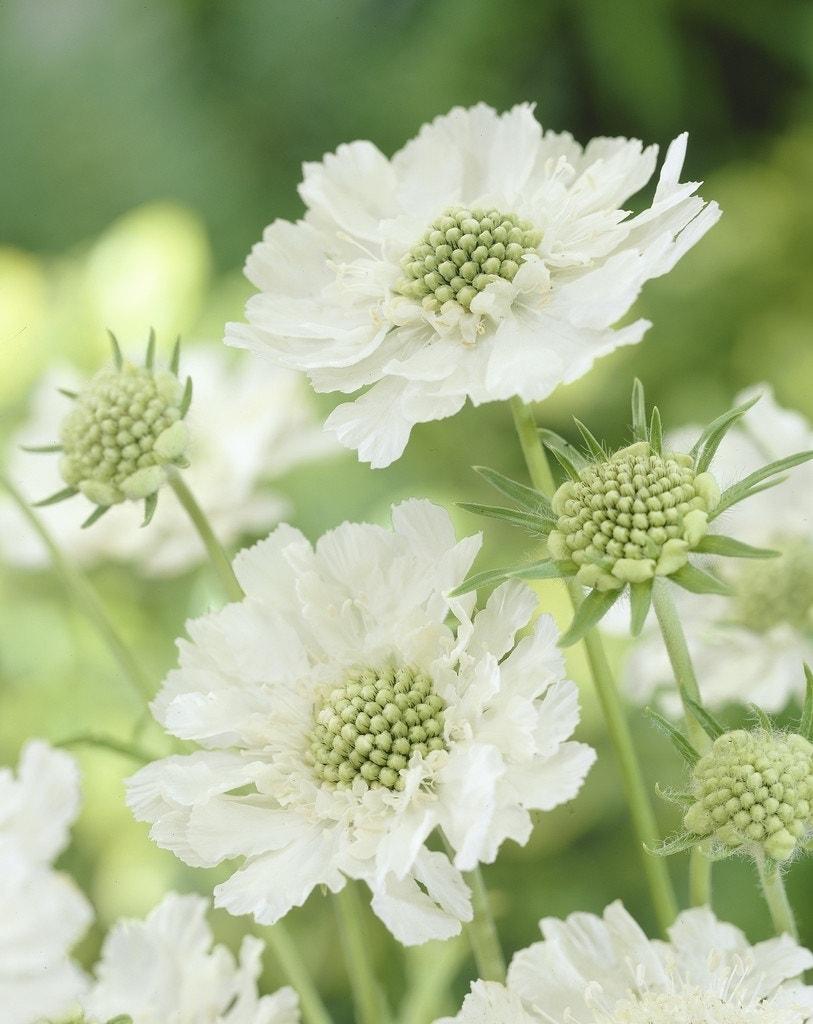 Duifkruid (Scabiosa caucasica 'Alba') - P9. Kleur: wit