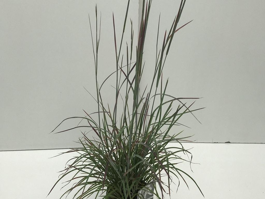 Prairiegras Schizachyrium scoparium ('Standing Ovation')-Plant in pot-C2