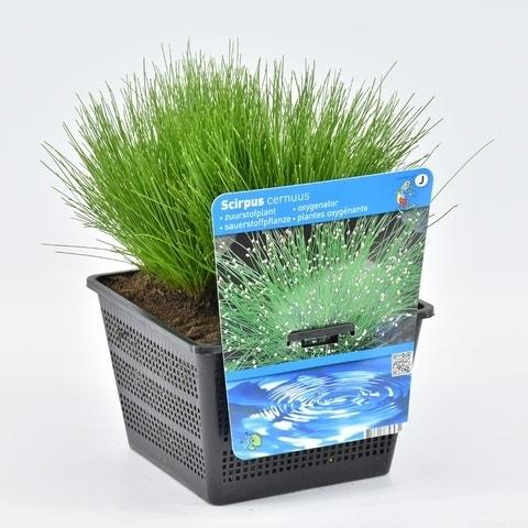 Naaldgras (Scirpus cernuus)-Plant in pot-P11 mand. Kleur: wit