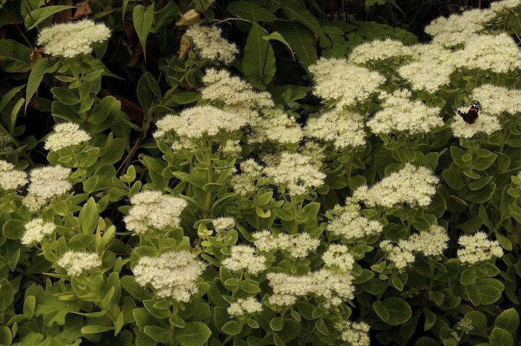 Vetkruid (Sedum spectabile 'Stardust')-Plant in pot-C2. Kleur: wit