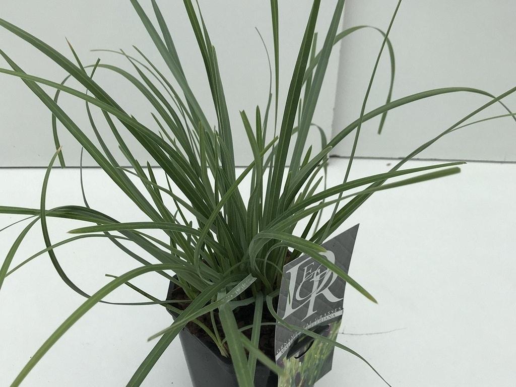 Blauwgras Sesleria heufleriana-Plant in pot-C2