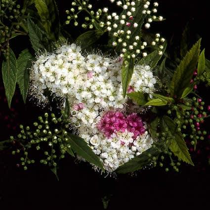 Spierstruik (Spiraea japonica 'Genpei' (Shirobana)) - 25/30 cm.. Kleur: meerkleurig